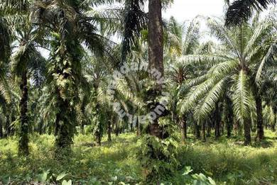 Palm Oil land Cheap rental Pekan Nanas