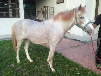Kuda berbaka arab.