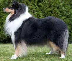 Euro cert rough collie >> cny promo