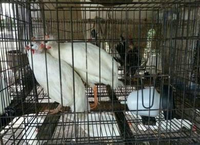 White mutiara