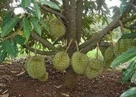 Anak durian monthong(D159)