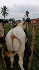 Lembu jantan besar