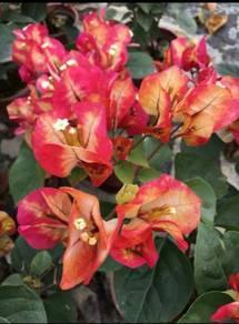 Bougainvillea CHITRA Rare ID
