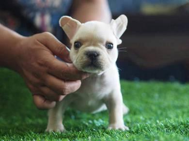 Creamy White French Bulldog Puppy