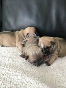 3 left French bulldog puppies