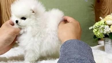 Ice Cute Pomeranian Puppies