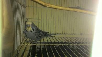Burung Baji A