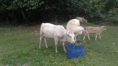 Lembu charolies