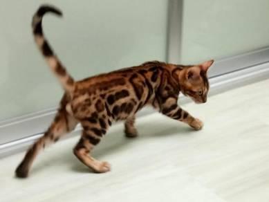 Anak Kuching Bengal Rosette (Murah2)