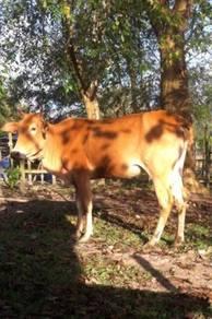 2 ekor lembu bertine