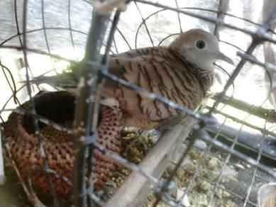 Burung merbok