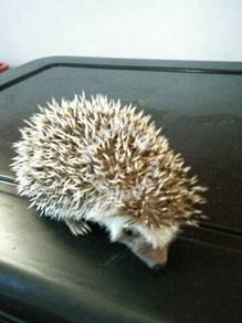 Landak mini hedgehog