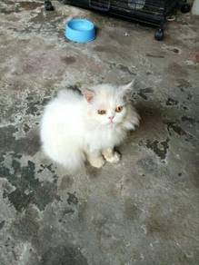Kucing semi/flatface parsi female white colour