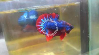 Betta hybrid ikan laga halfmoon plakat red black