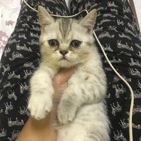 Exotic short hair kucing