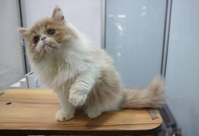 MK'FLUFFY SIR FITCH (Available)
