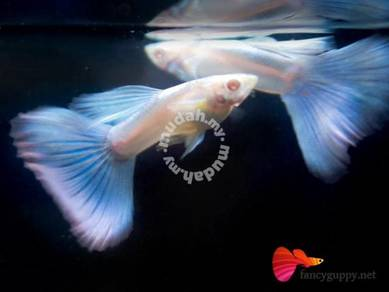 Albino Sky Blue Guppy Fish