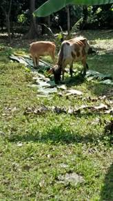 Lembu betina dengan anak 6bulan (betina)