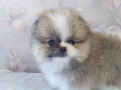 Microchip Pomeranian puppies