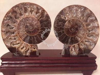 Big Set Fossil Ammonite Feng Shui Crystals
