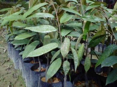 Durian ioi(d168)