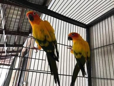 Sun Cornea Bird For Sale