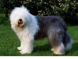 Rare* old english sheepdog on slae