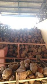 Kelapa / Coconut Borong (tua)