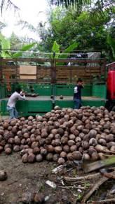 Benih kelapa sgg TULEN & buah kelapa pandan tua