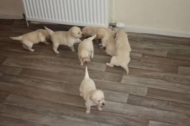Healthy Golden Retriever puppies ready now