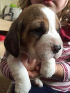 Outstanding Beagle puppies looking for another hom