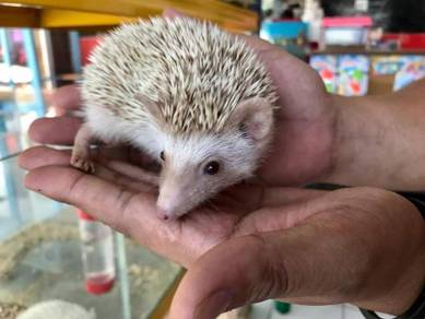 Hedgehog (Albino & Cinnamon)