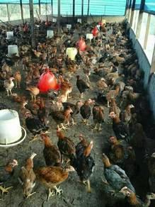 Ayam kampung utk di borong