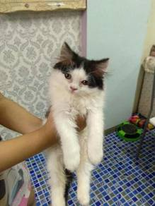 kitten  baka dlh