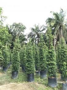 Ficus Korea