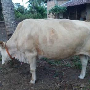 Lembu bunting nk branok dh untuk dijual