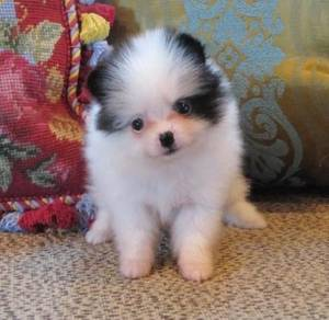 Come and see pomeranian puppies