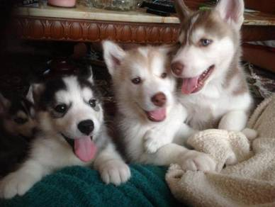 Good Male and Female Siberian Husky puppies ready