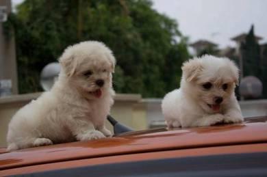 Mka maltese pup *cnypromo18