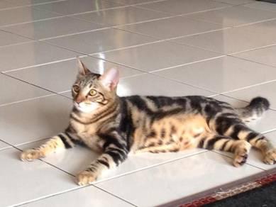 Mating kucing
