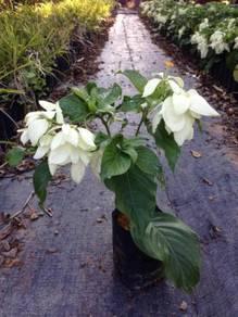 Mussaenda Pink And White Flower