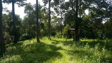 Road side orchard with durian trees