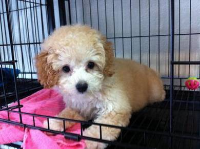 Toy poodle *feb18