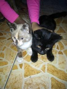 2 Ekor kucing nak bagi free