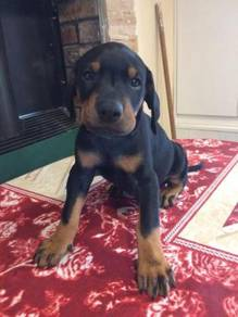 Cute Doberman puppies available for a new home
