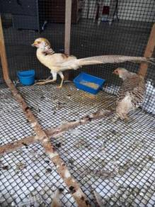 Burung Kuang kuning induk pair