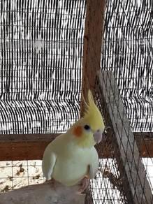 Burung cockatiel.