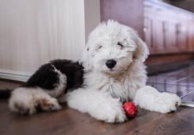 Old english sheepdog 2018