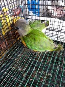 Burung Senegal parrot hand feed siap lesen
