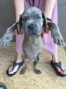Guard Dog Cane Corso Italian Mastiff